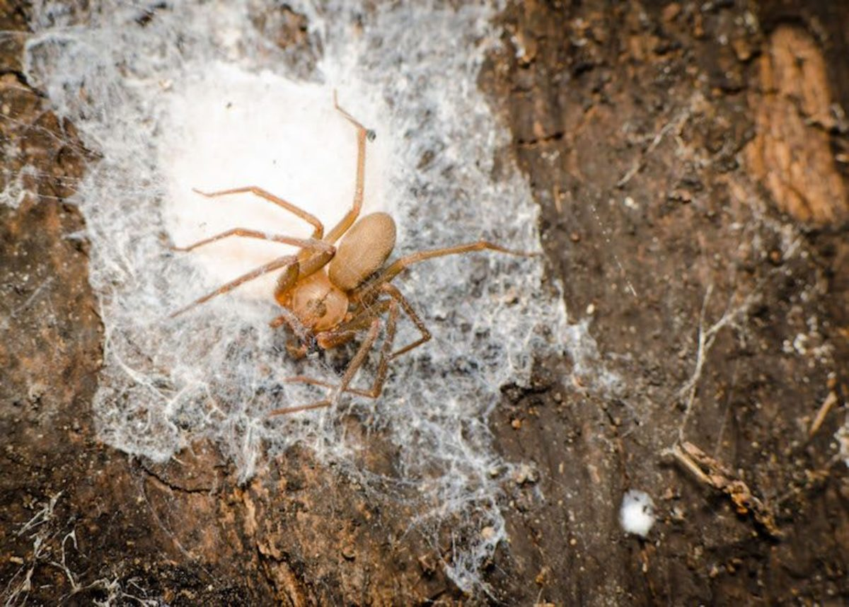 Brown Recluse The Villain of Spiders