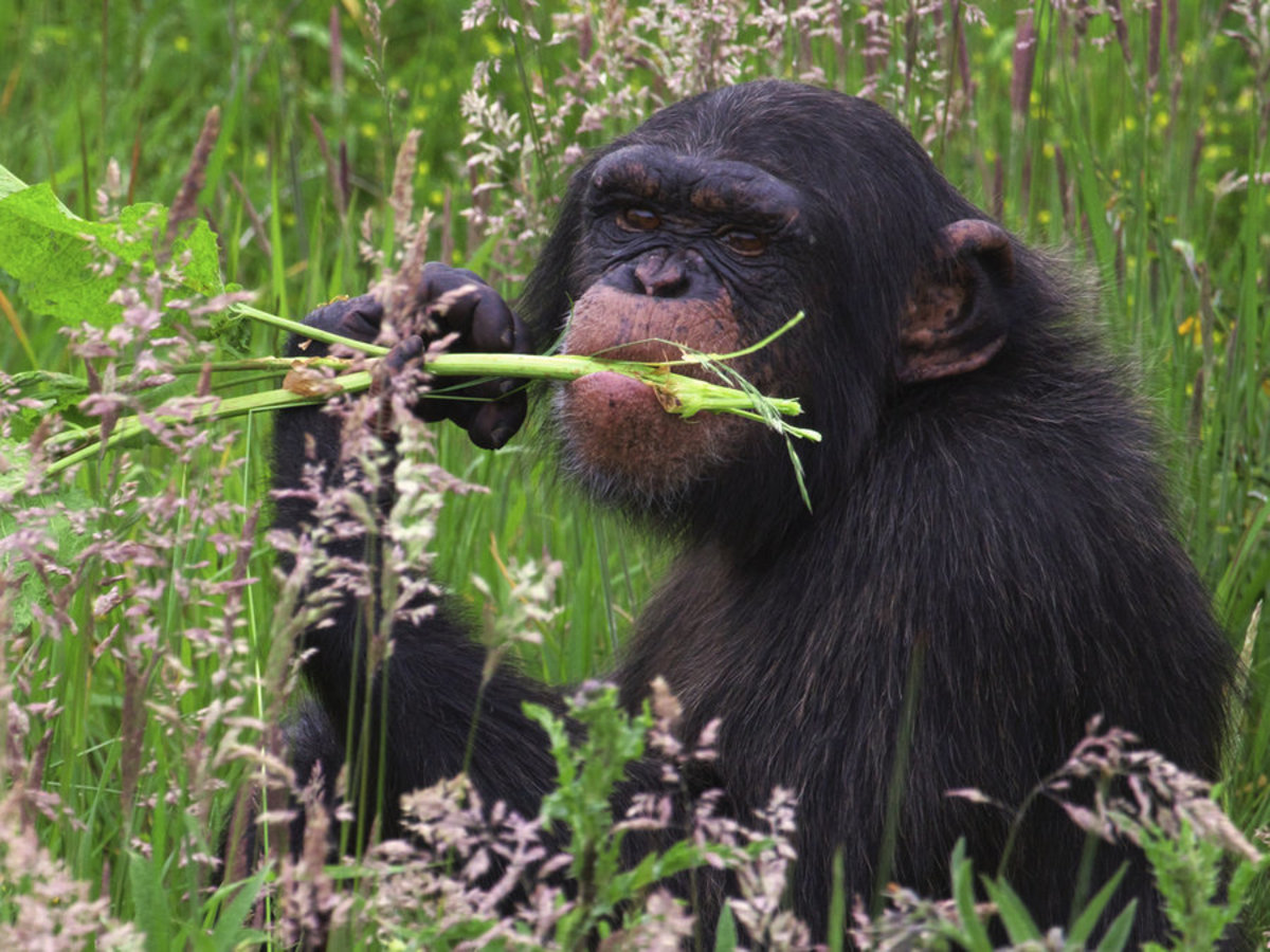 Chimpanzees, when they are sick, instinctively know which plants to eat.  A wild animal is genetically stronger against health risks than a pet or a human.