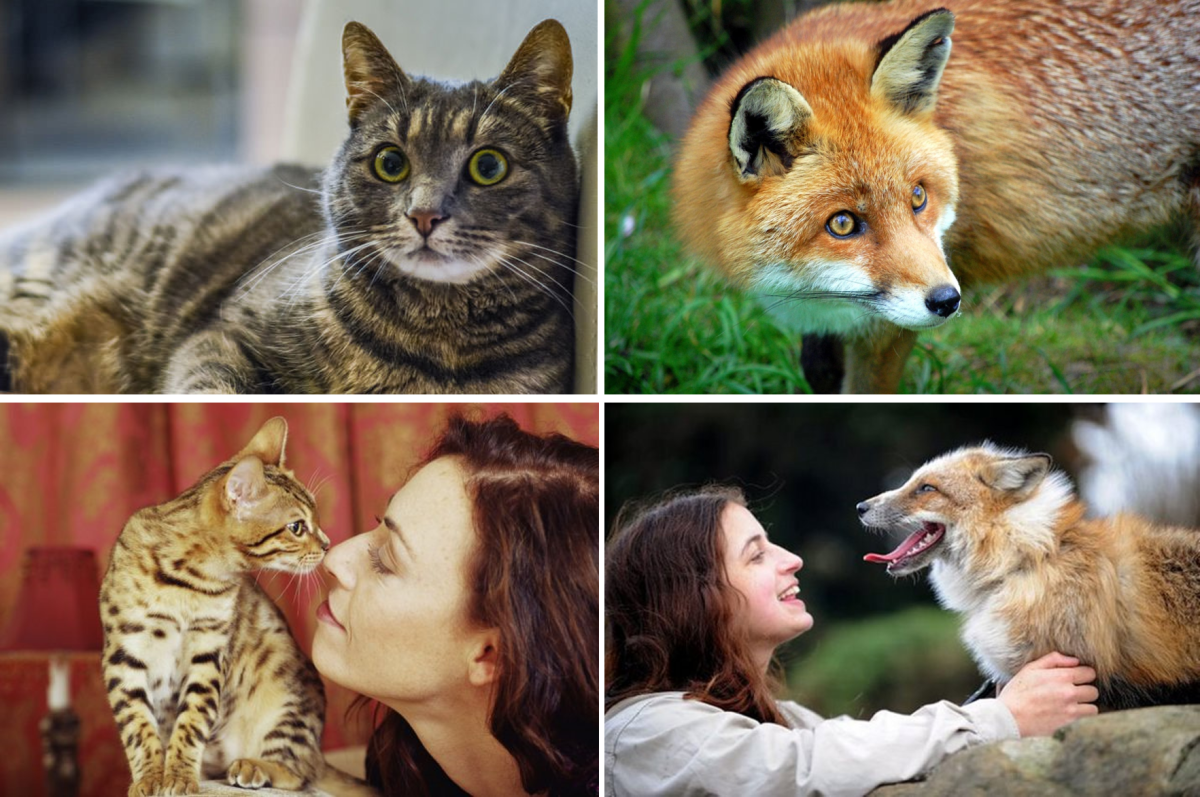 Pet Cat and Fox Evading the Eye Contact