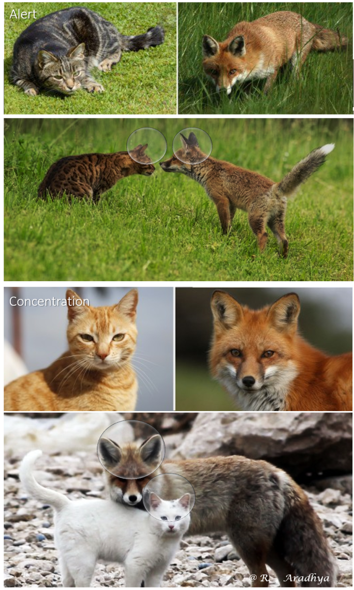The Cat and Fox ear - Movements