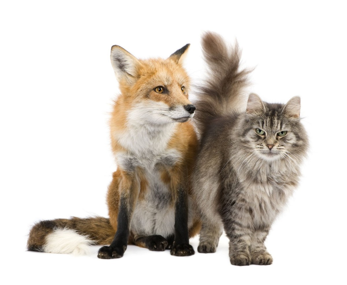 The Fox and Cat together