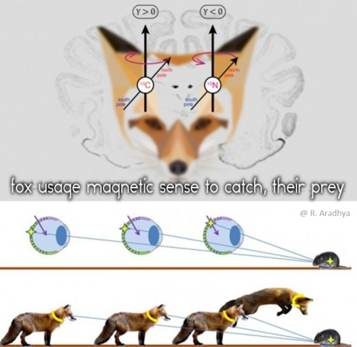 The Fox Magnetic Sense to Hunt