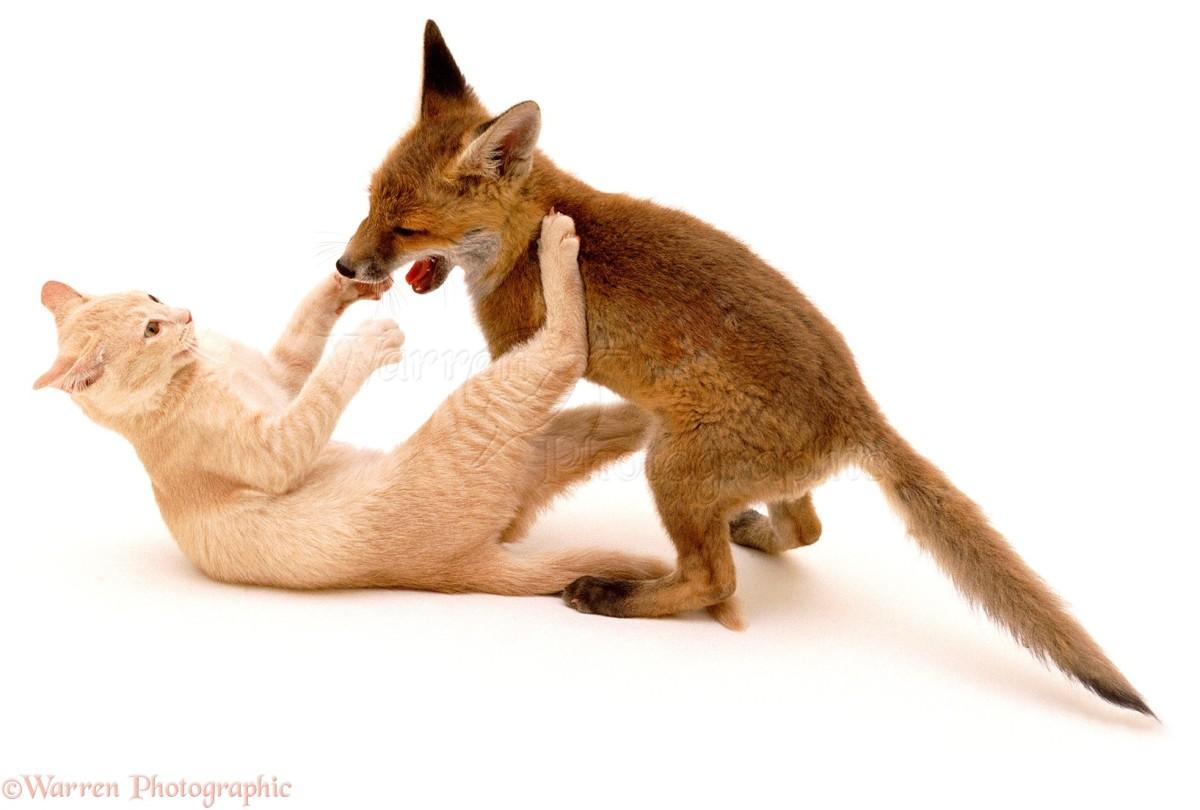 the-7-cat-like-behavior-in-fox