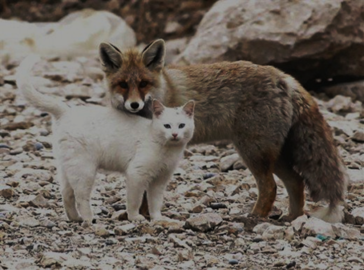 11 Cat Like Behavior of Fox