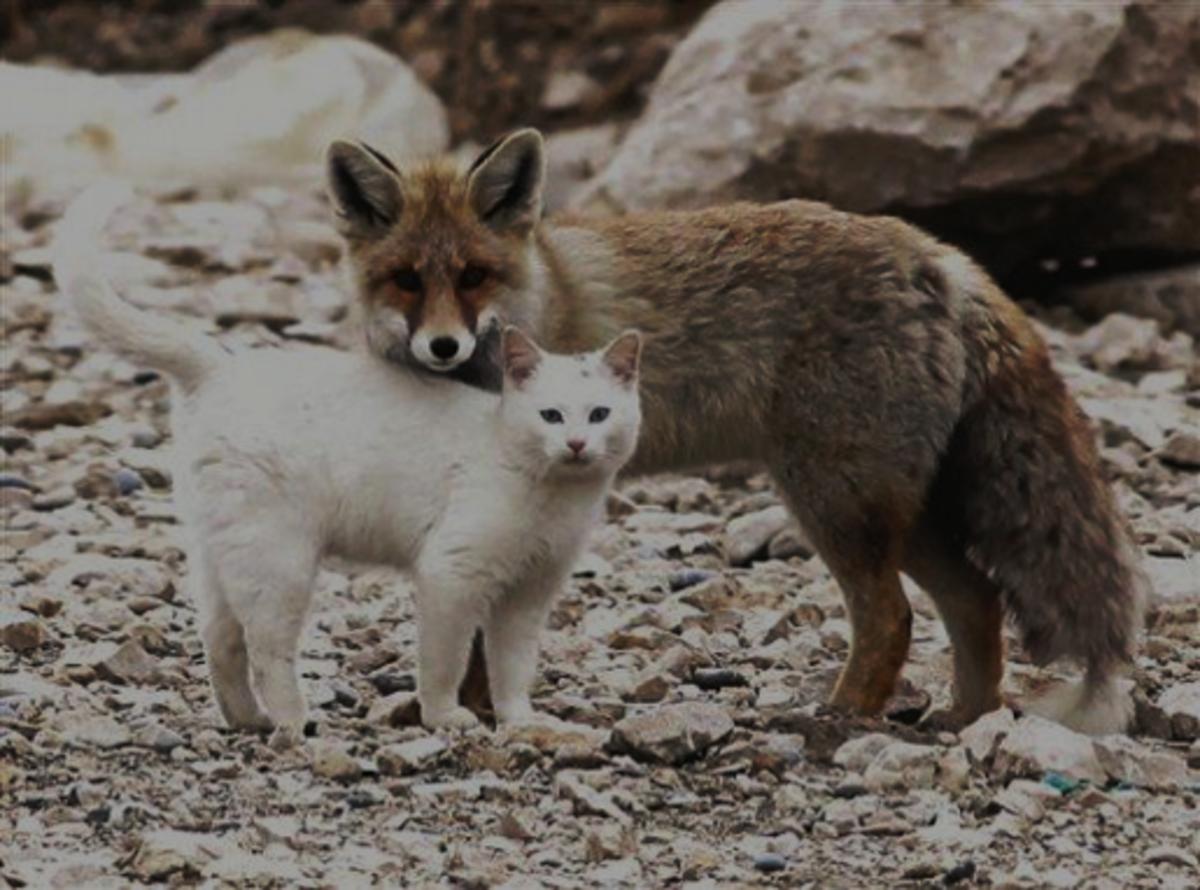 11 Cat Like Behavior of Fox