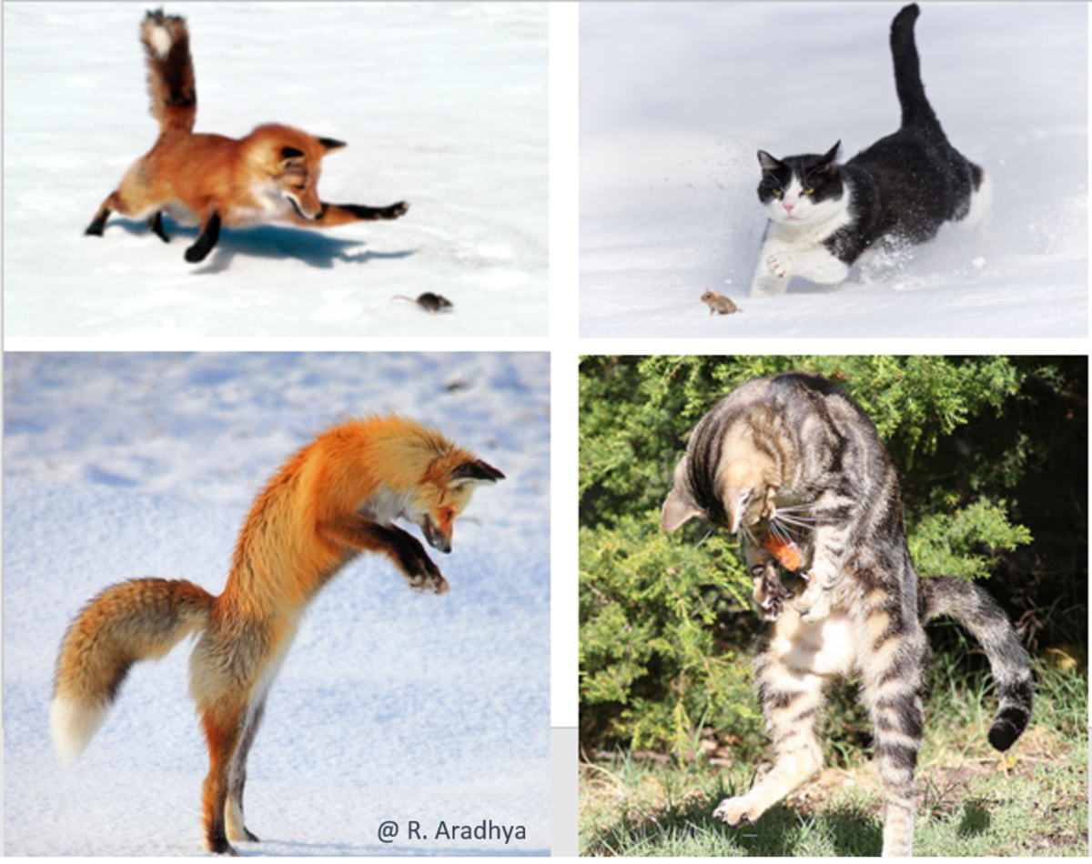 The Fox and Cat hunting