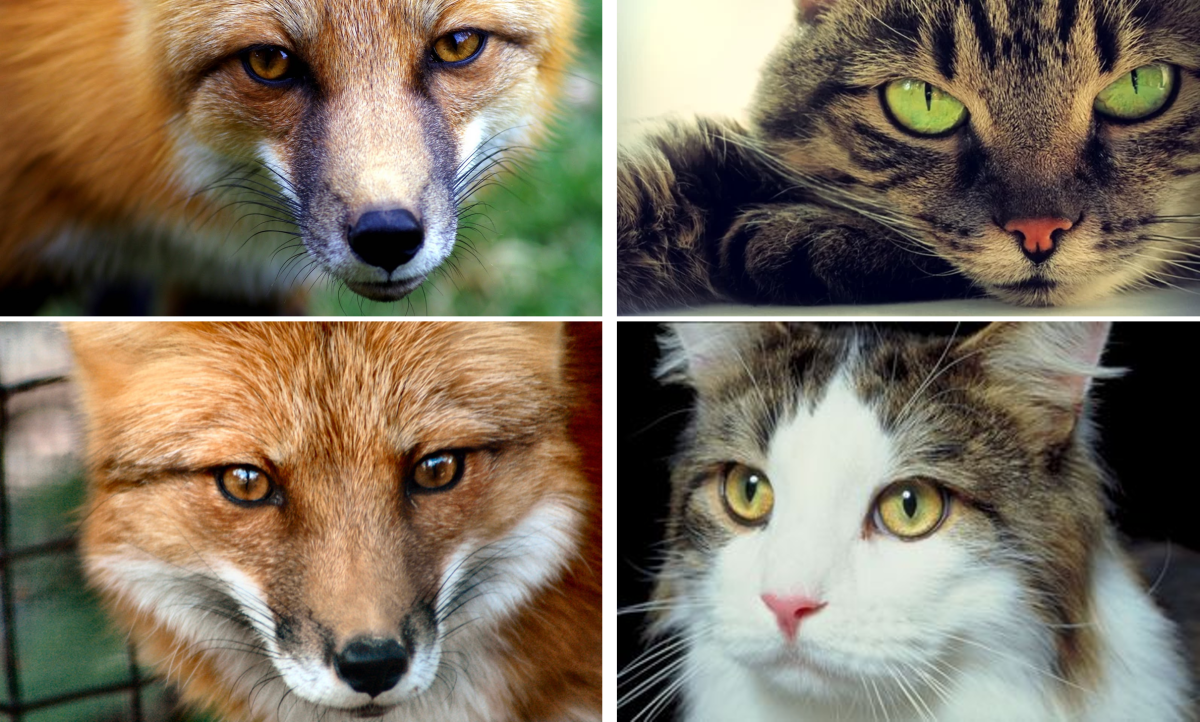 The Fox and Cat Eyes