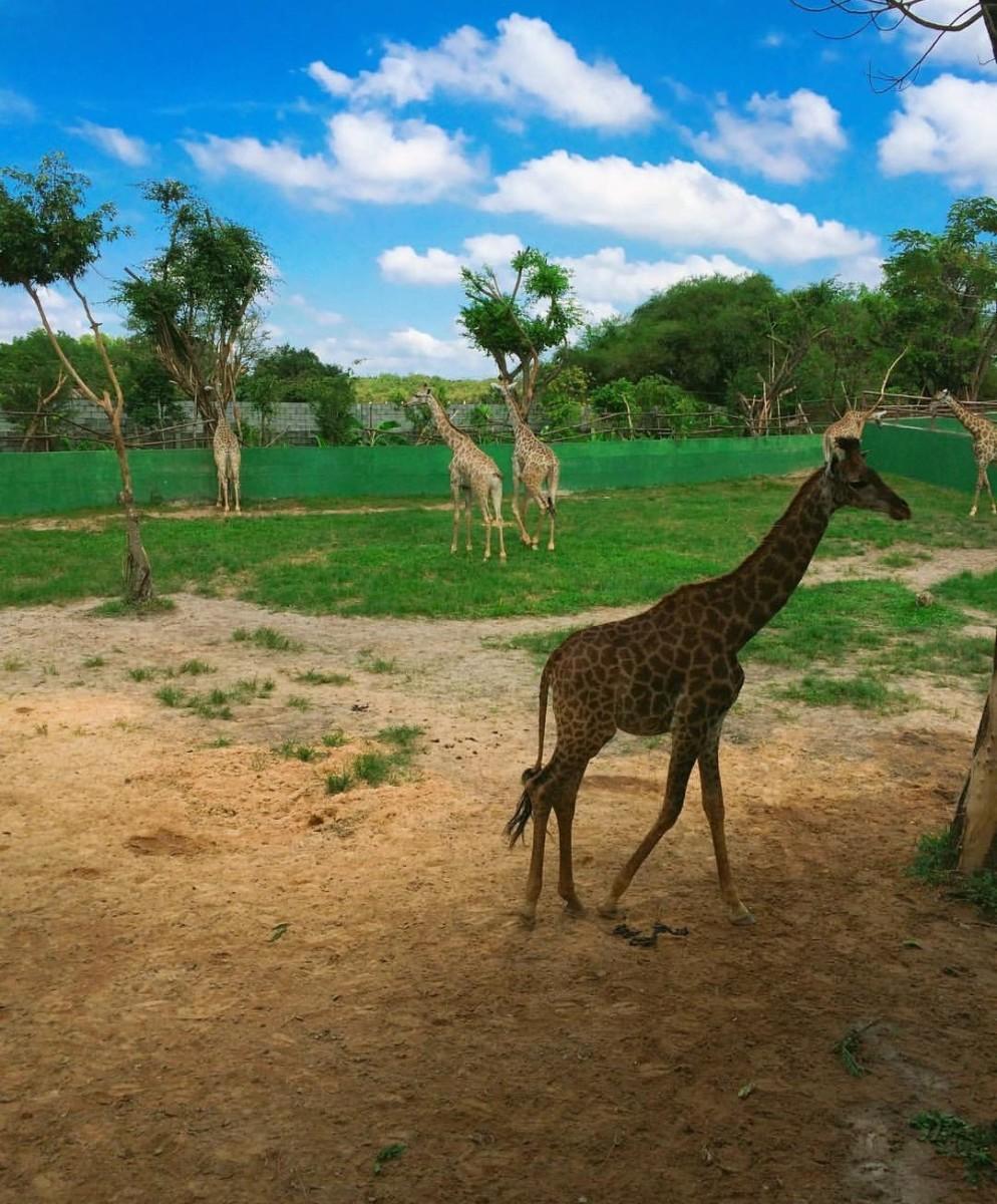 Giraffe cubs roaming about