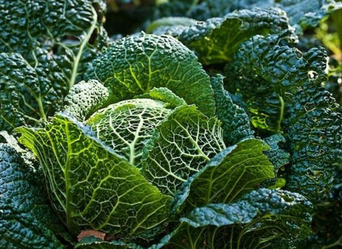 Savoy cabbage, the designer cabbage
