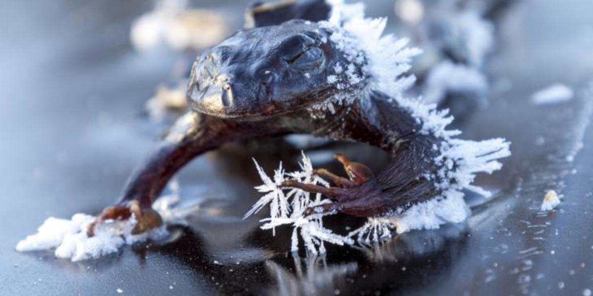 Two-thirds of the body of the Alaskan wood frog actually freezes during winter, leaving individual cells to continue functioning, but the frogs have no way to communicate with each other during hibernation. They thaw out in late April and May.