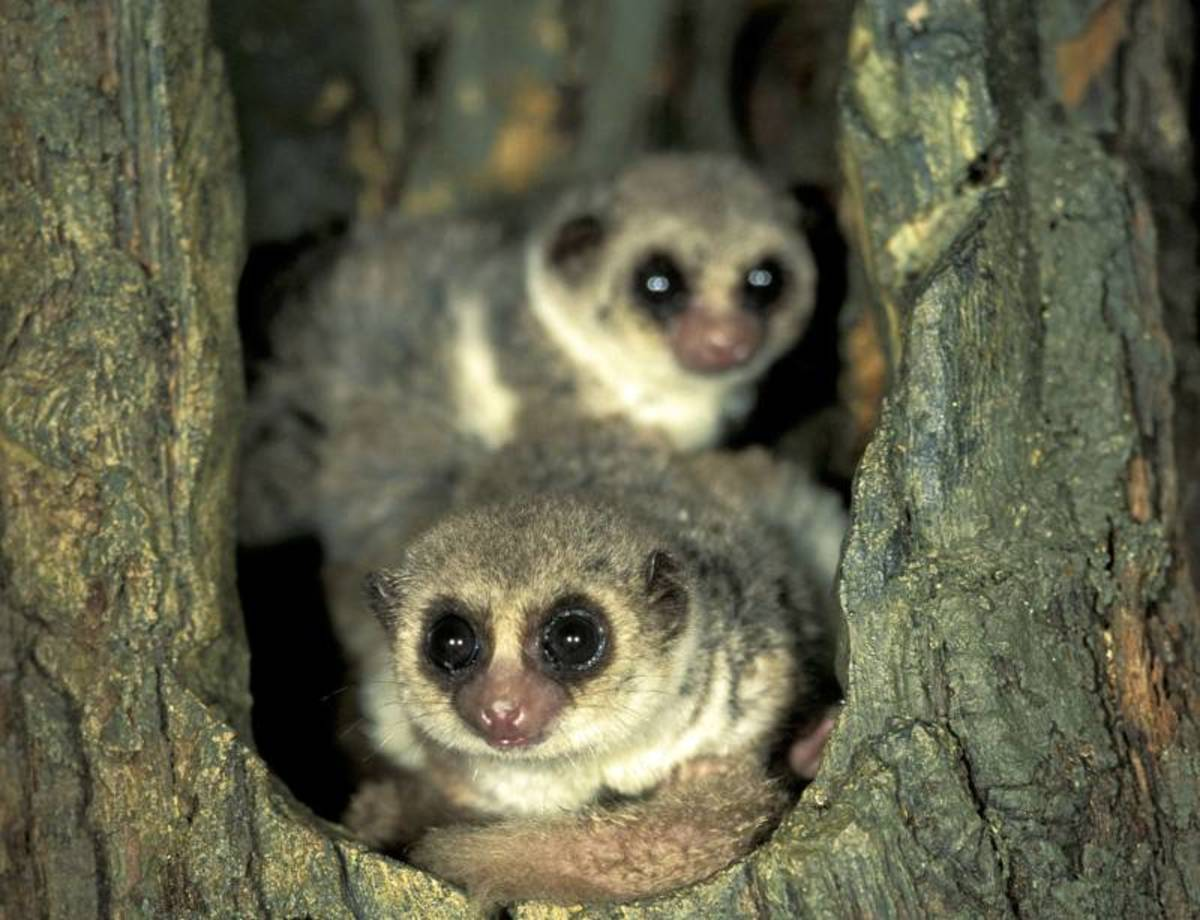 The  a fat-tailed dwarf lemur hibernating inside a hollow tree in Madagascar.  Although the tree is in the tropics, the lemur hibernates because its food and water source is deminished during the dry season.