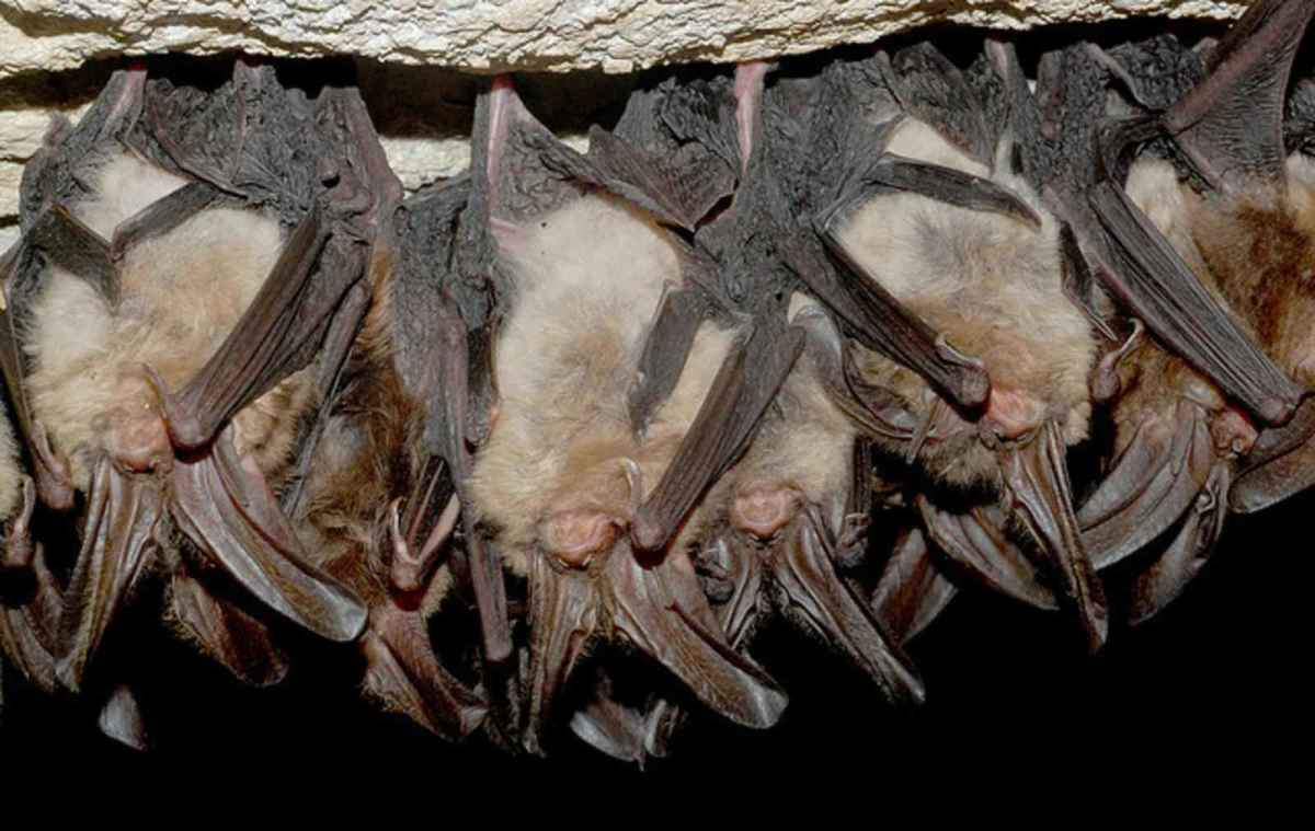 Bats in hibernation in an area with cool, stable air temperatures.  These places are often different from the roosts used in spring and summer.  They slip into torpor (lethargic state) and reduce the rate at which they burn off their fat reserves.