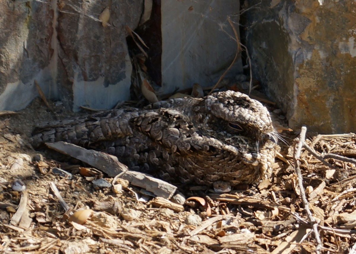 The common poorwill (Phalaenoptilus nuttallii) is the only bird that hibernates in cool weather. .It will enter a torpid state, with lowered body temperature, heartbeat, and rate of breathing for days or weeks.