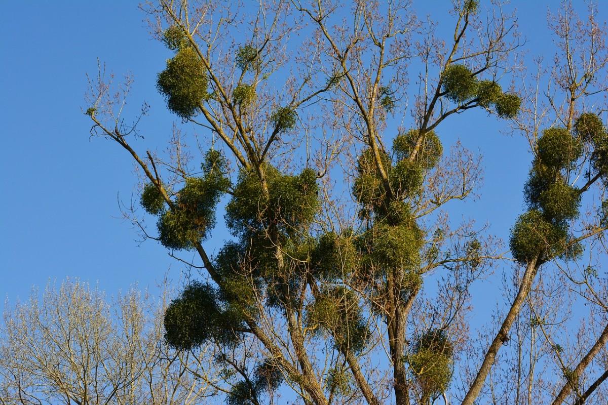 Mistletoe on a tree