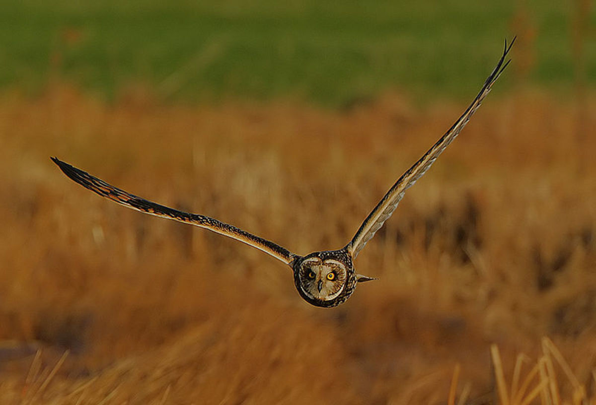 Short-eared Owls in Britain typically breed in Northern areas, normally in upland areas. During the autumn and winter though, they become more widespread. Source: Steve Garvie via Wikimedia Commons