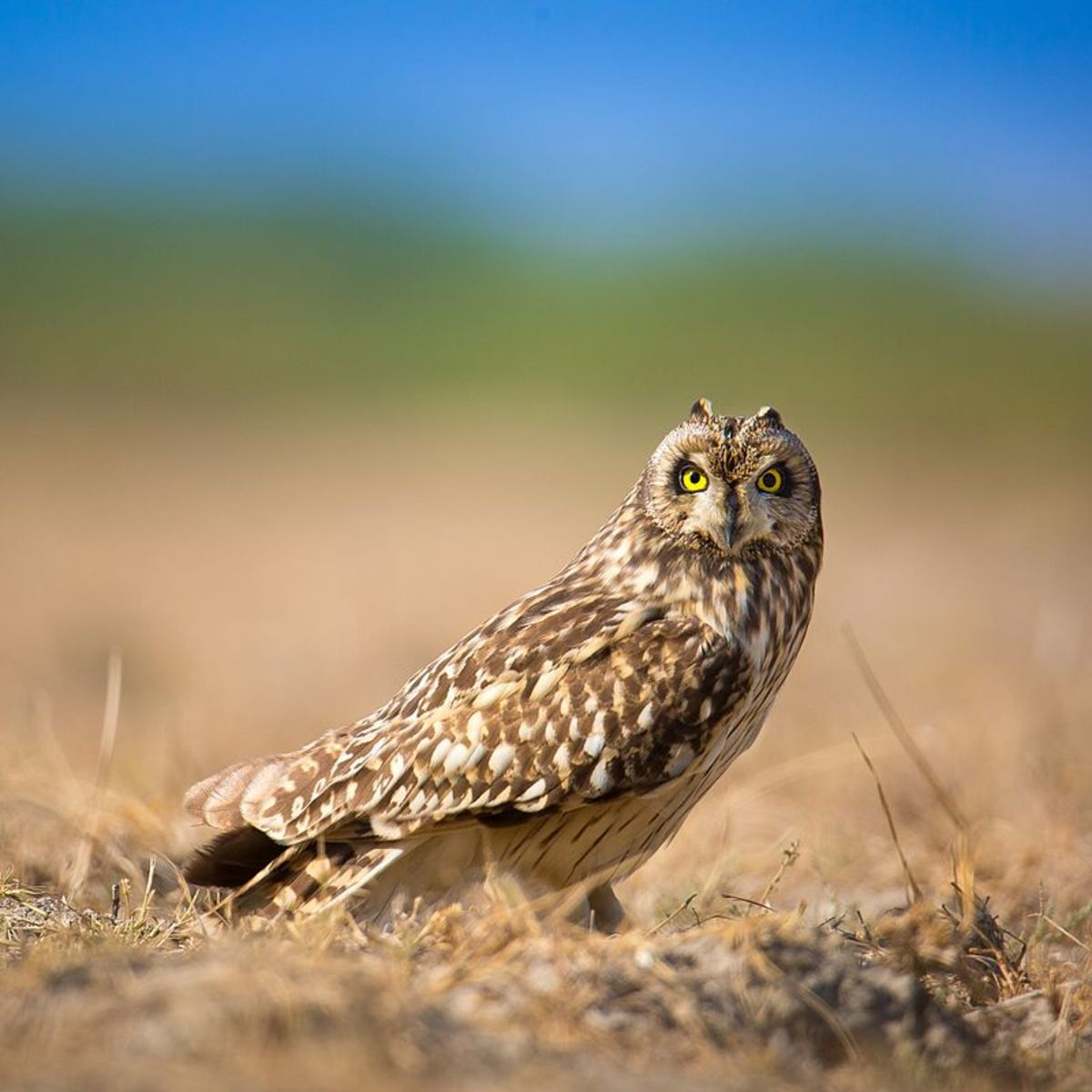 Short-eared owls are one of the most widely distributed birds in the world- found on all continents except for Australia and Antarctica. Source: Sumeet Moghe via Wikimedia Commons