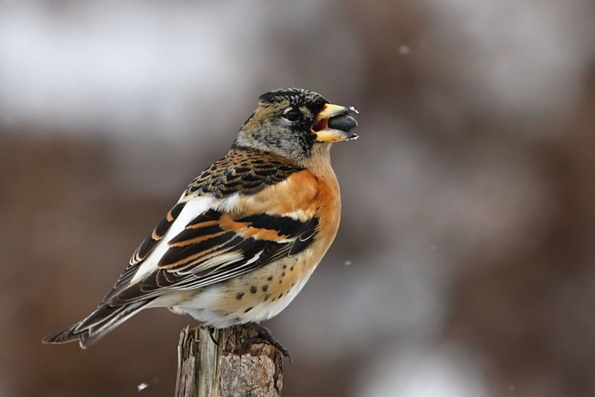 Bramblings are very gregarious and whenever food sources are plentiful they can form flocks numbering in their thousands. Source: mmlolek via Wikimedia Commons