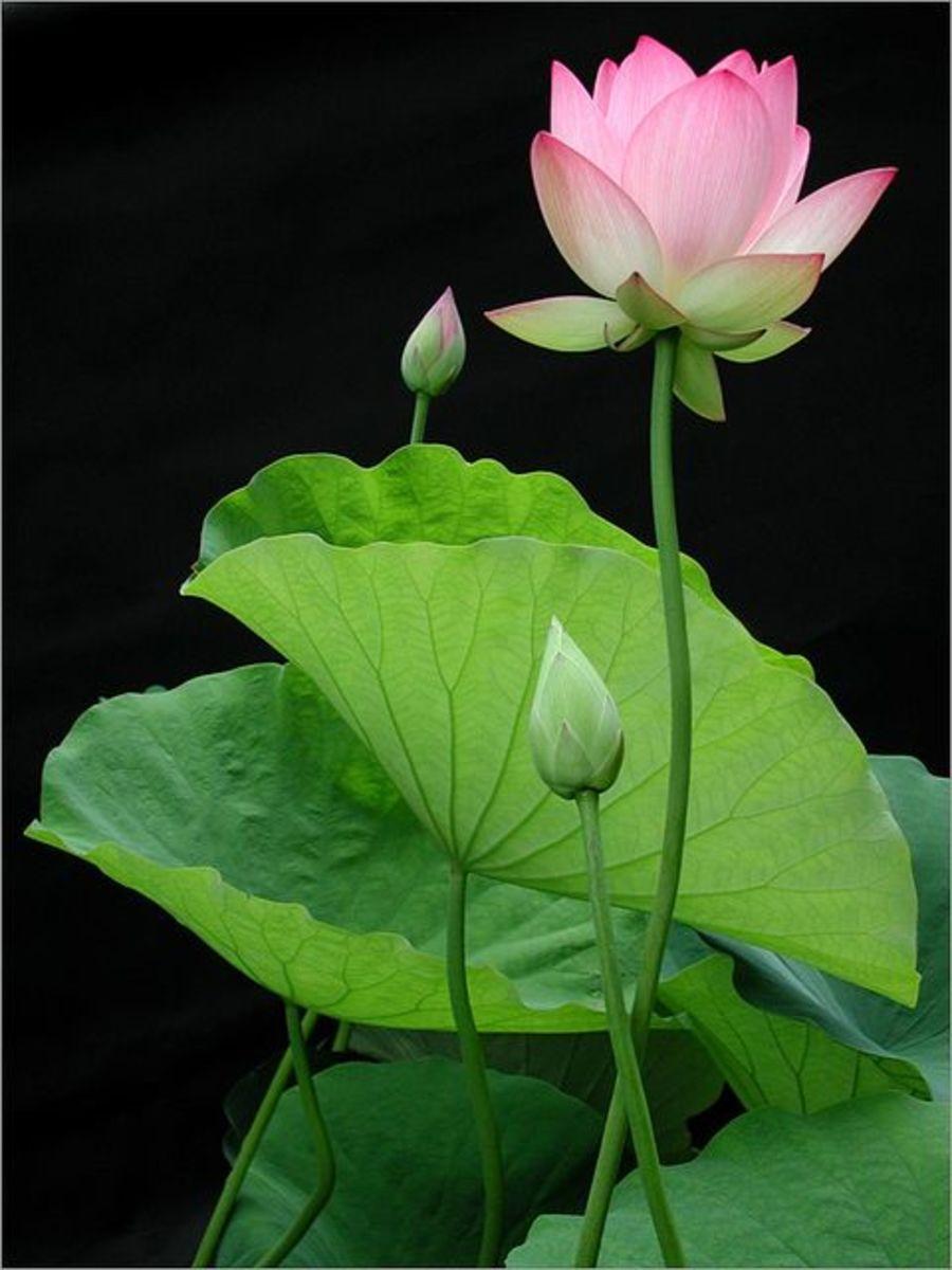 The Beautiful Lotus Plant Nelumbo nucifera Traditional