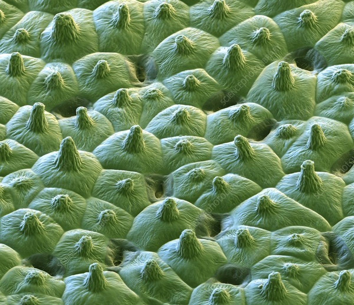 Lotus leaf surface. Coloured scanning electron micrograph (SEM) showing the microstructures on the surface of a leaf from a lotus (Nelumbo sp.) plant.