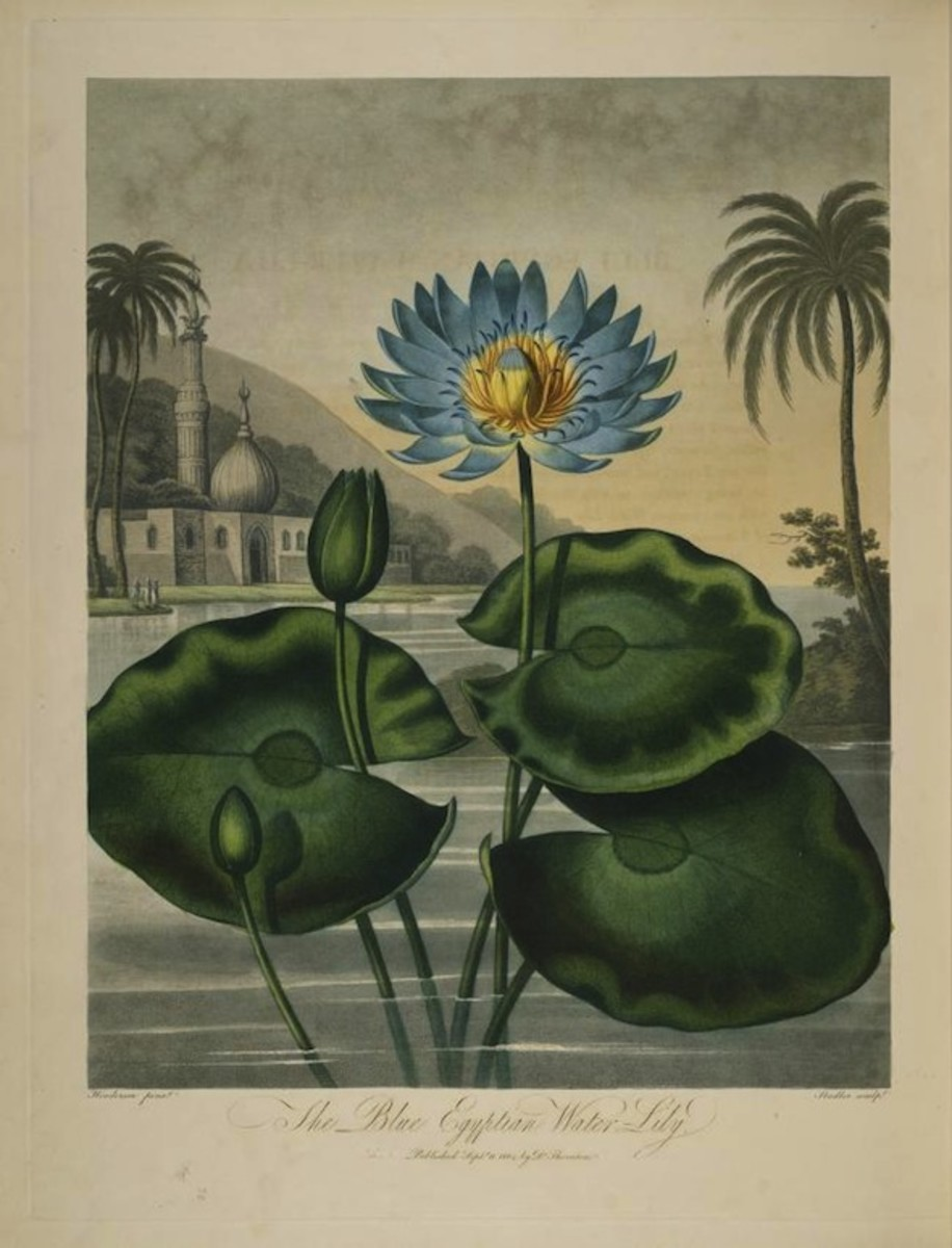 Nymphaea caerulea in the Temple of Flora, Robert Thornton.