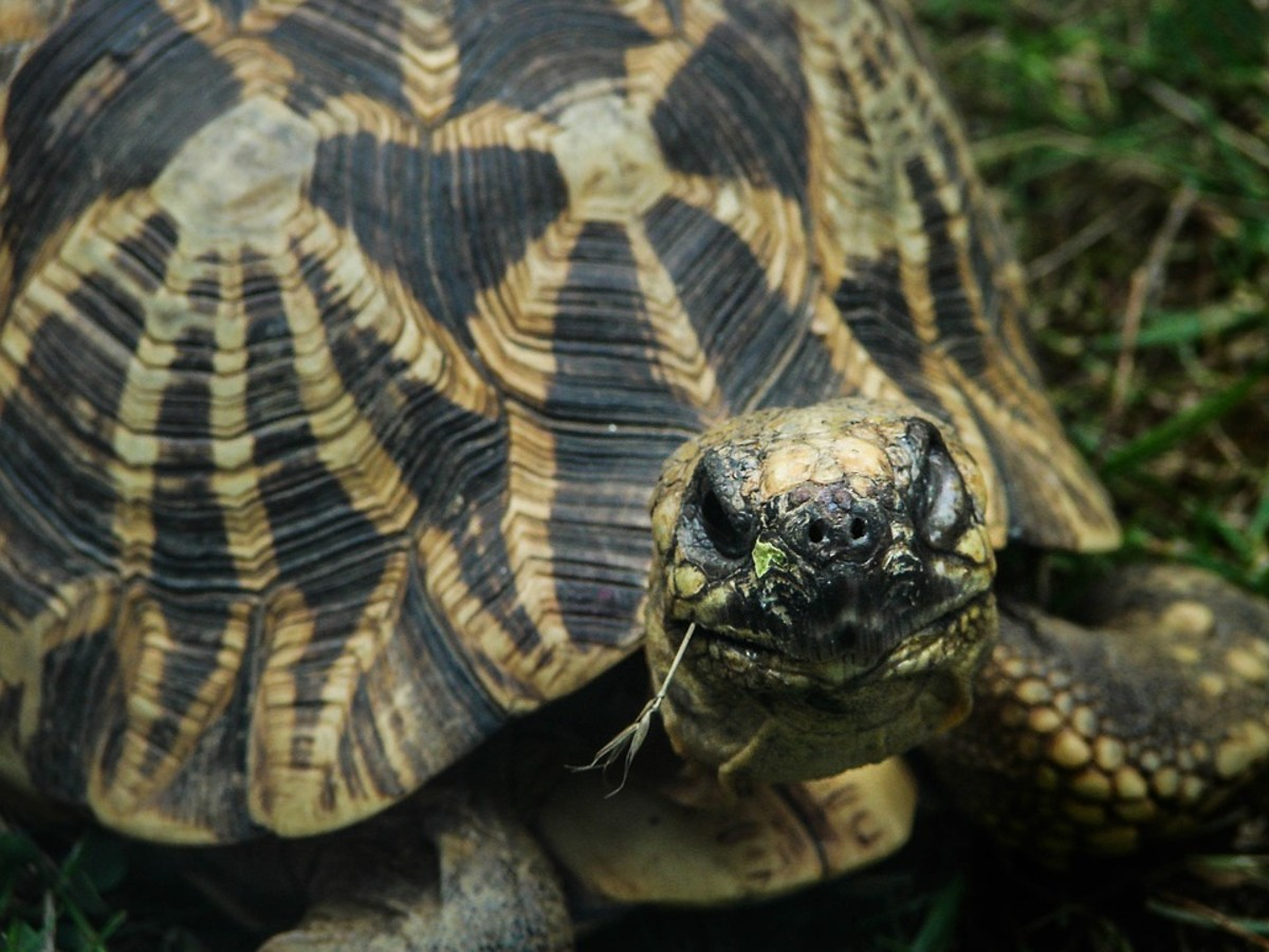 Indian Star Tortoise Breed
