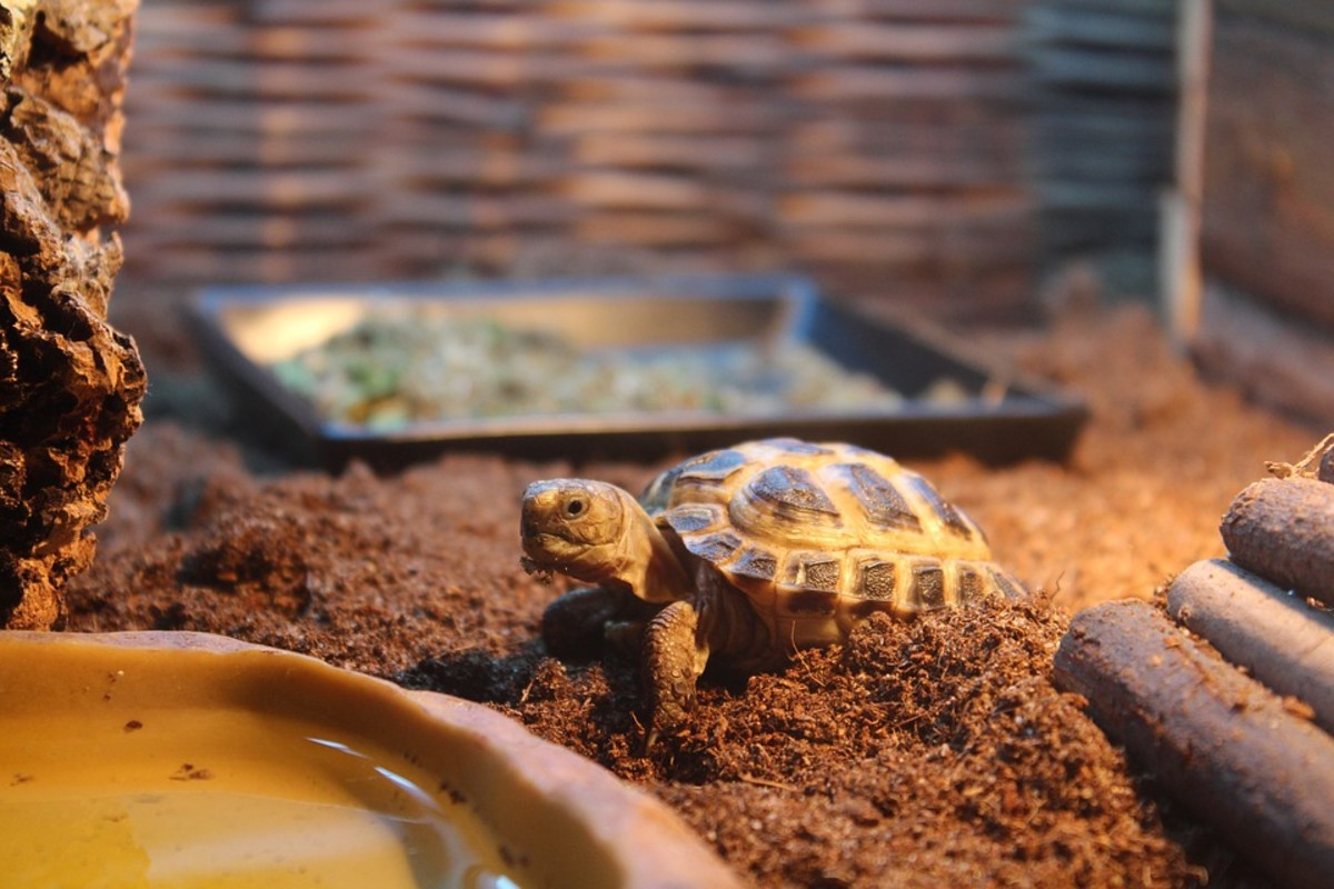 Russian Tortoise Breed