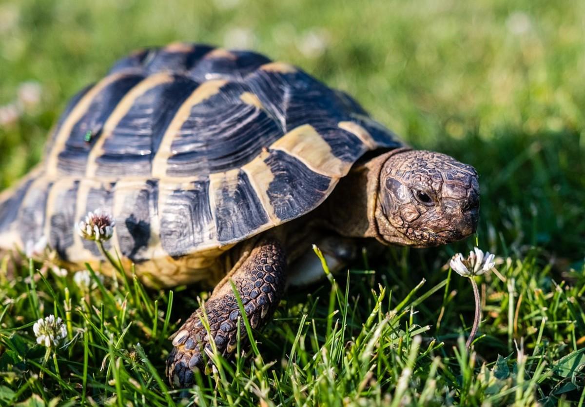 Greek Tortoise Breed