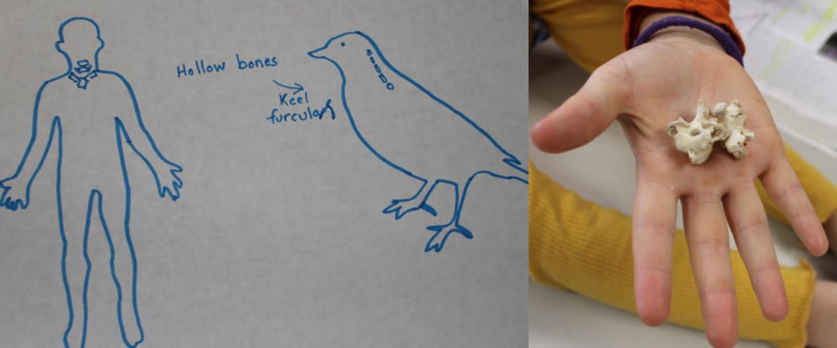Bird bones & muscles designed for flight