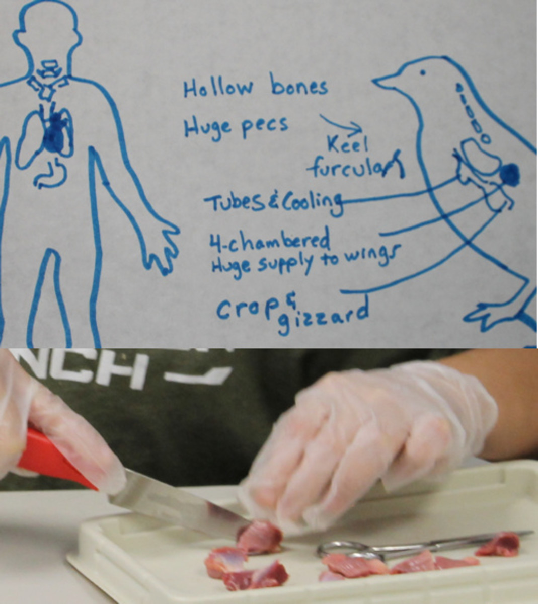 Bird digestive system & dissecting gizzards