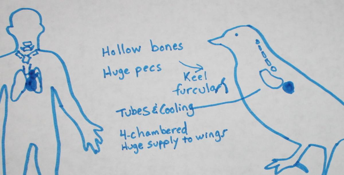 Blood circulation in birds