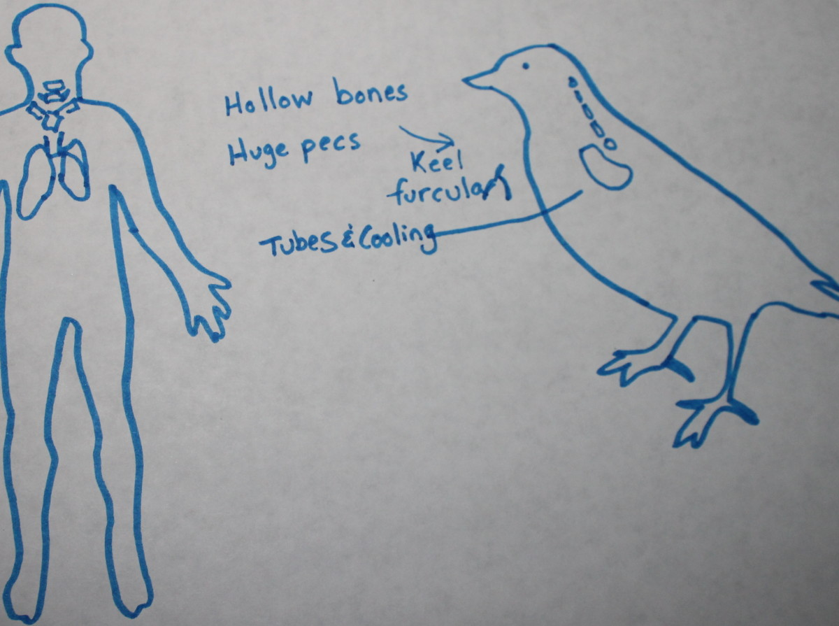 Lungs and air for birds