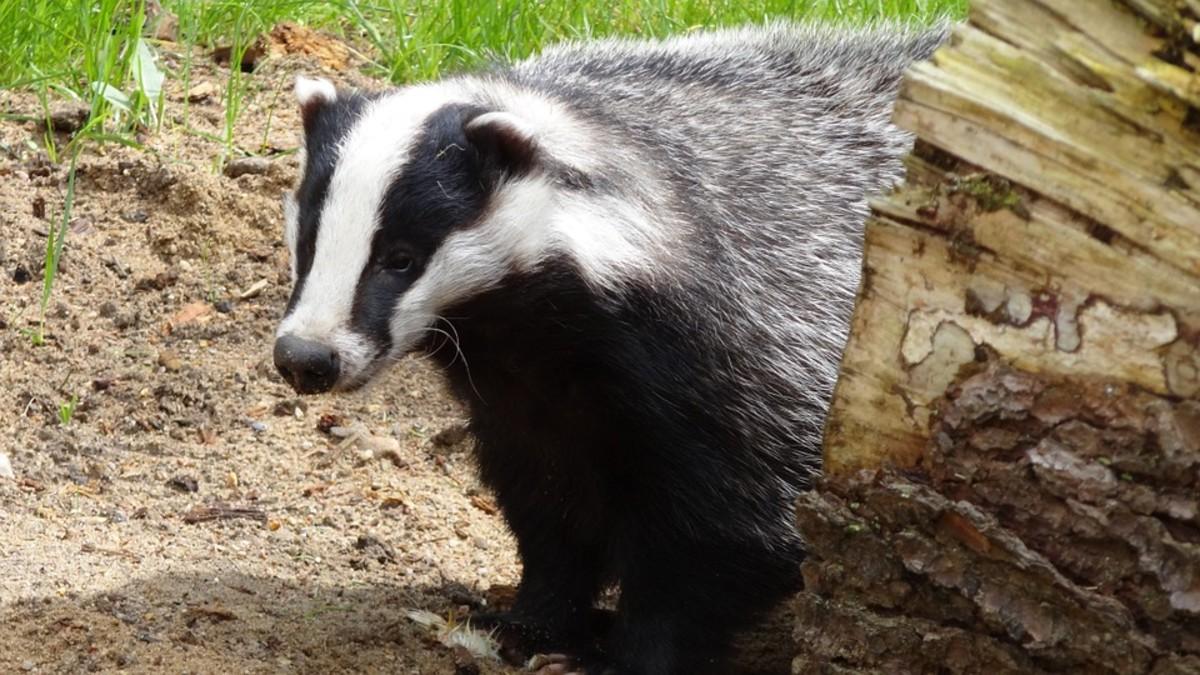 Arizona Badger