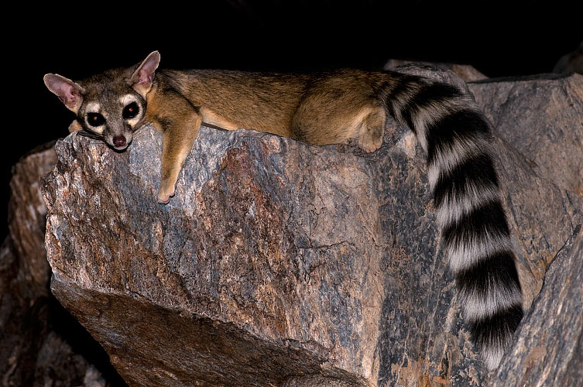 Ringtail Cats