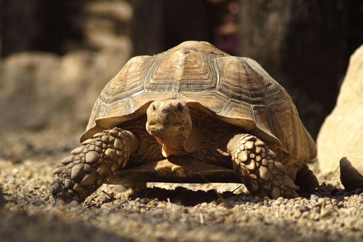 Desert Tortoises