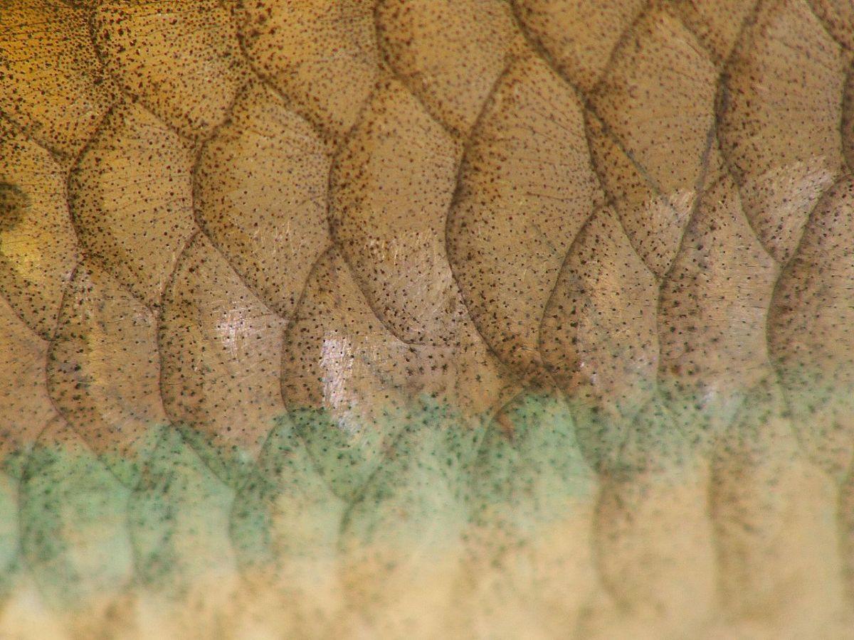 Looking at fish scales