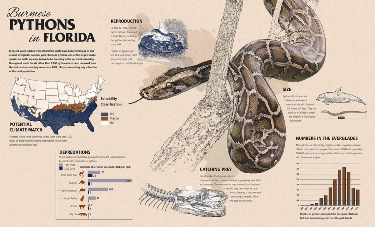 burmese-python-an-invasive-species-exposed