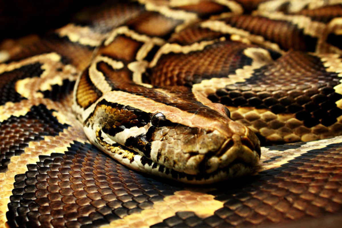 Burmese Python- An Invasive Species Exposed