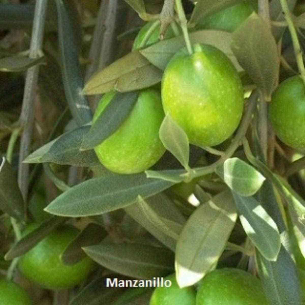 Manzanillo Olive