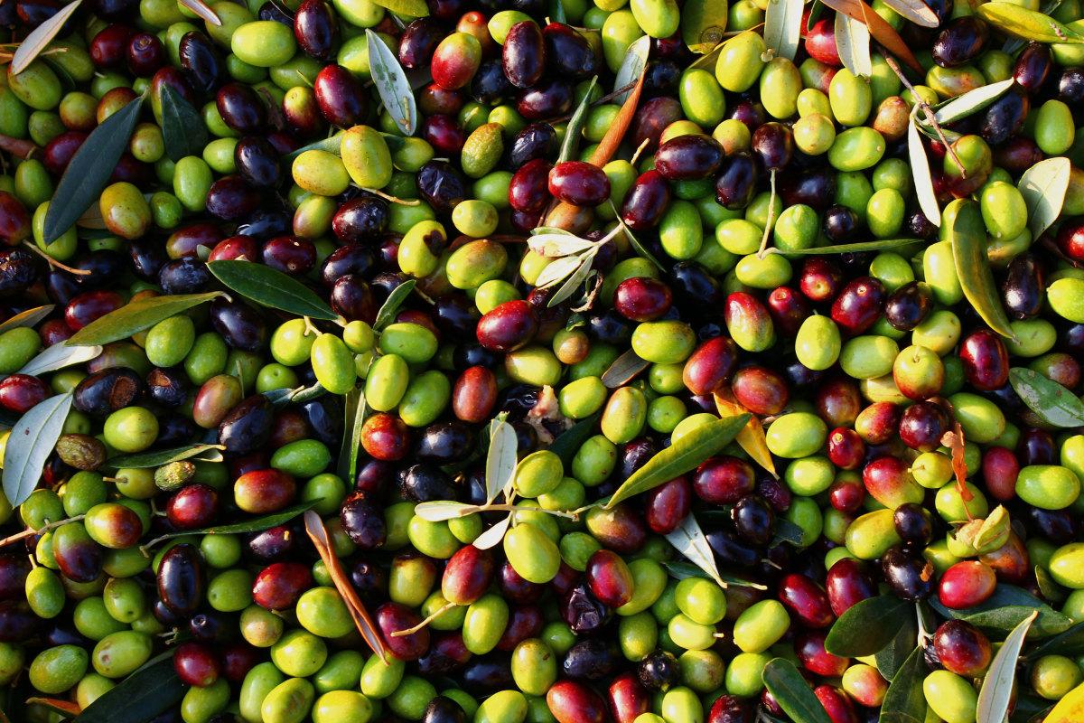 Freshly harvested olives before being pressed to make olive oil.