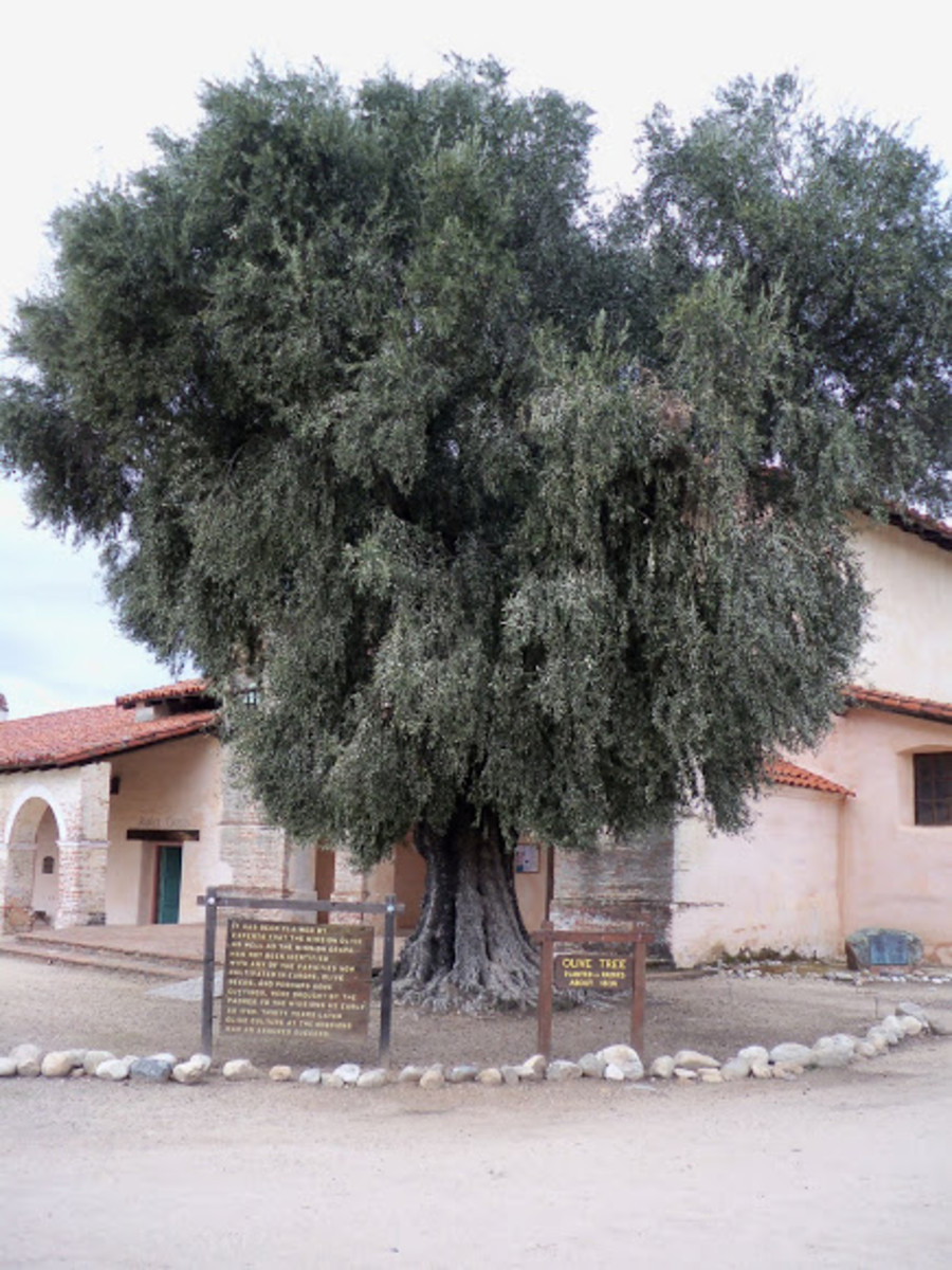Mission Olive tree in San Diego, California.
