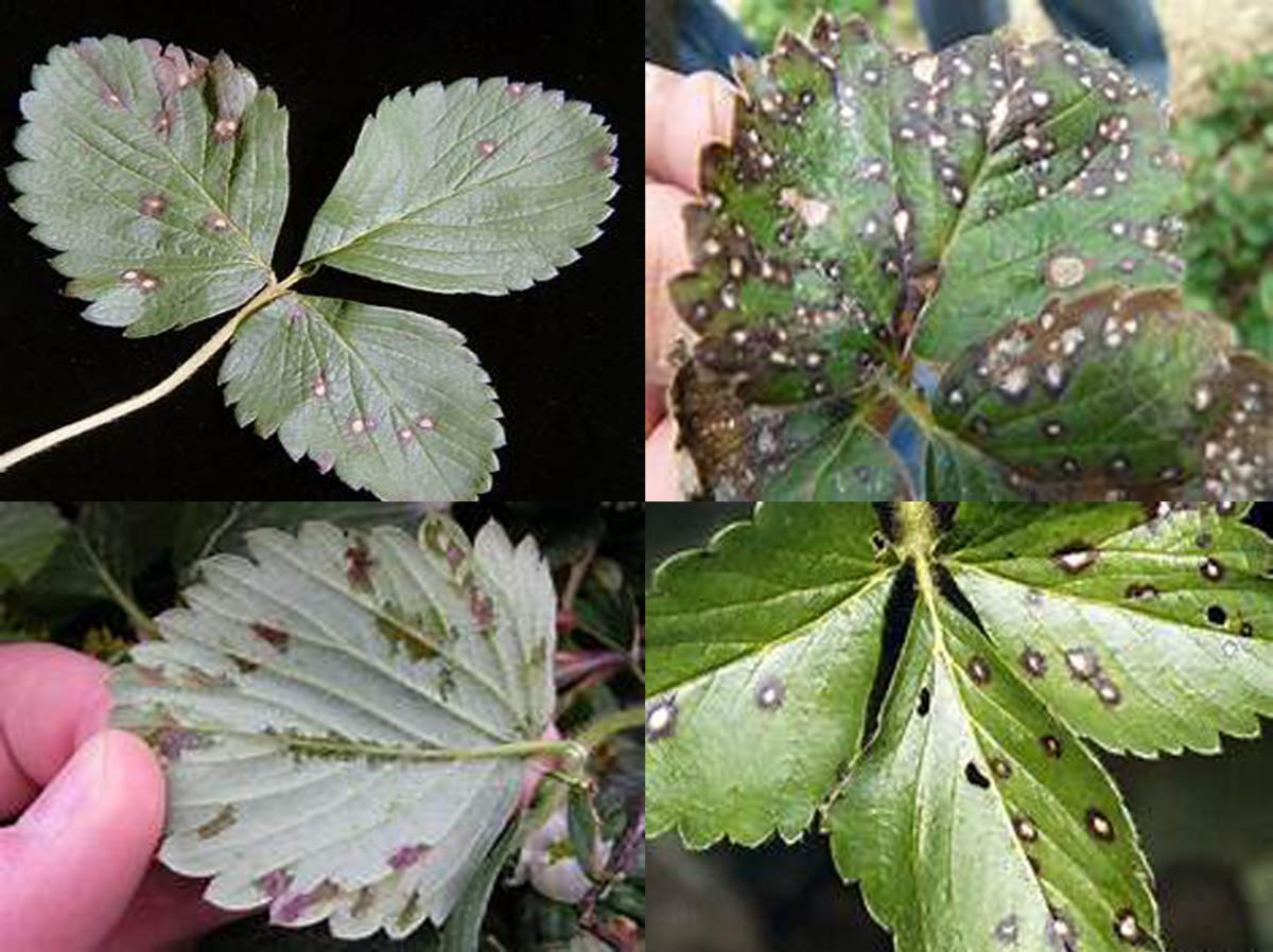 Leaf Spot caused by Mycosphaerella