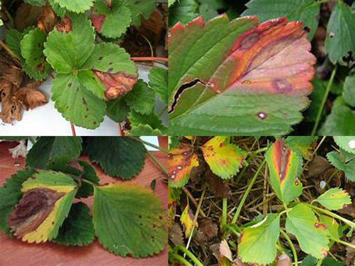 Leaf blight / anthracnose on leaf