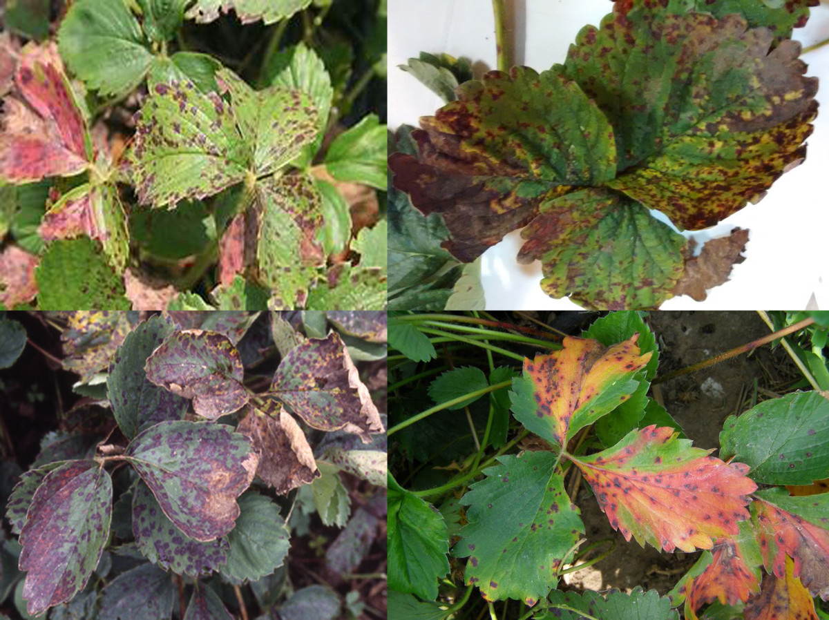Leaf Scorch caused by Marsonina