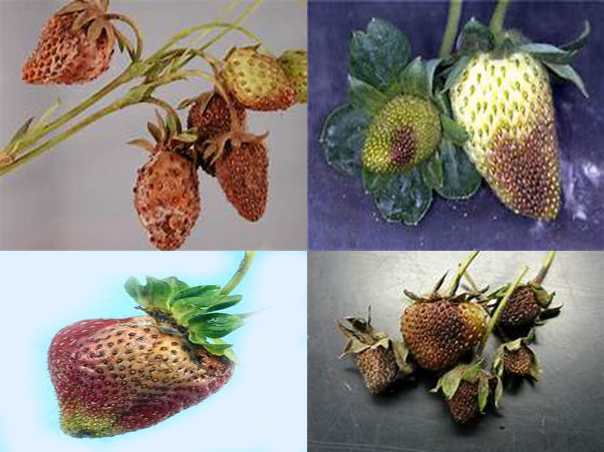 Fruits infected with Phytophthora rot