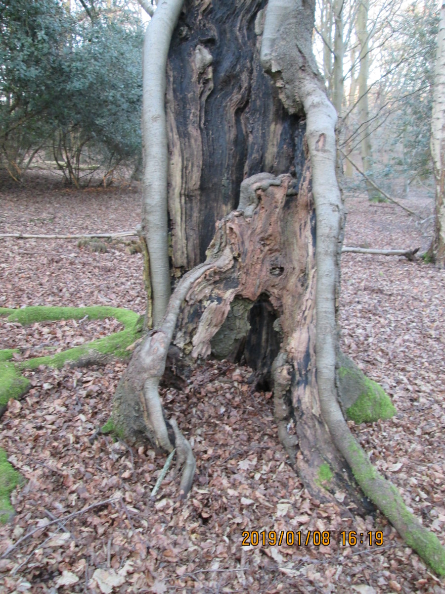 """""""Just resting..."""" Another grand old survivor, hollowed out by disease, gamely throws out new shoots in spring."""