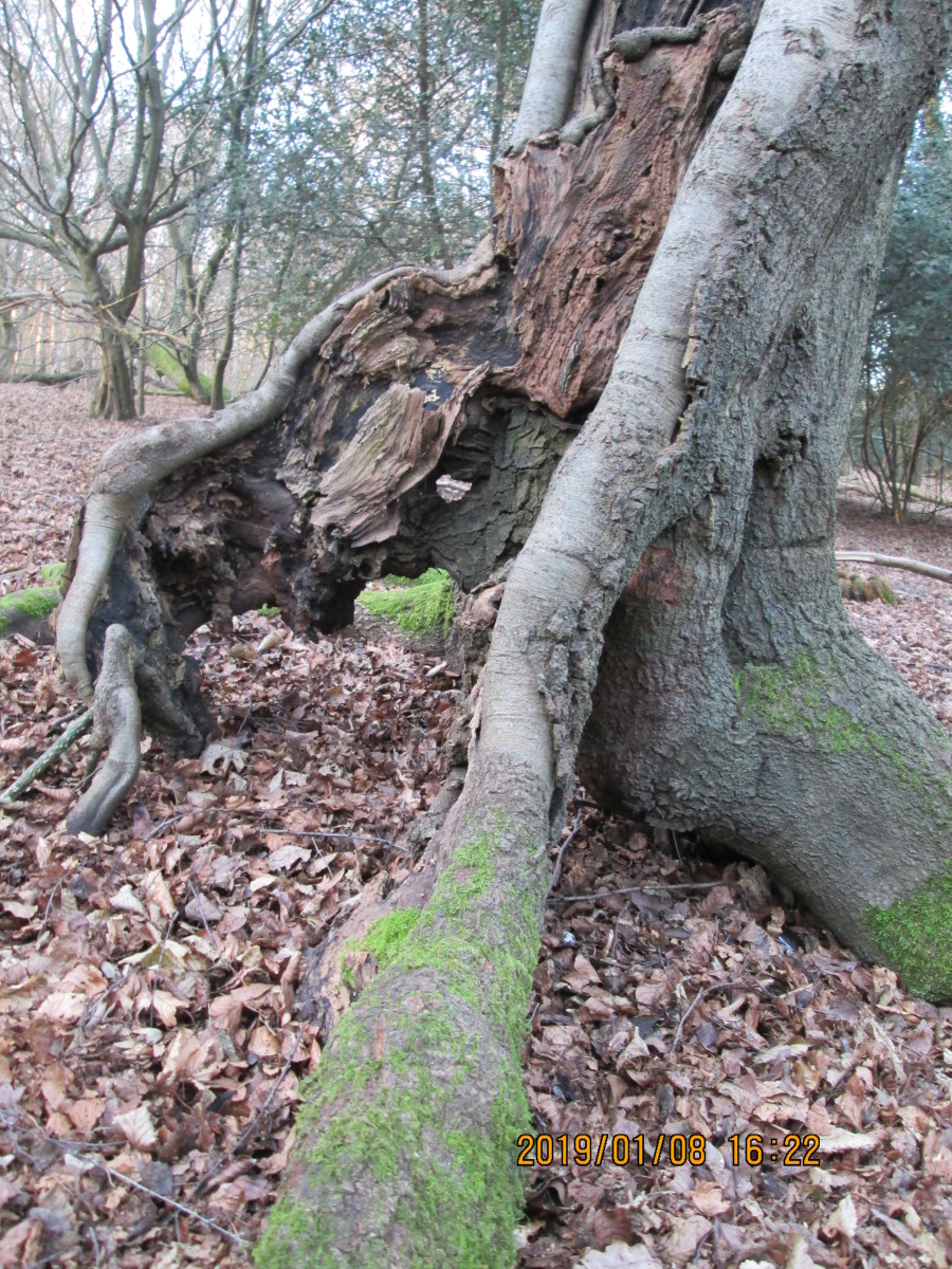 Hollowed-out tree trunk that resembles an old man resting against a post to get his breath back after an exhausting walk