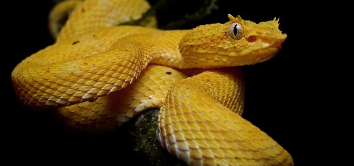 The Golden Launcehead Viper