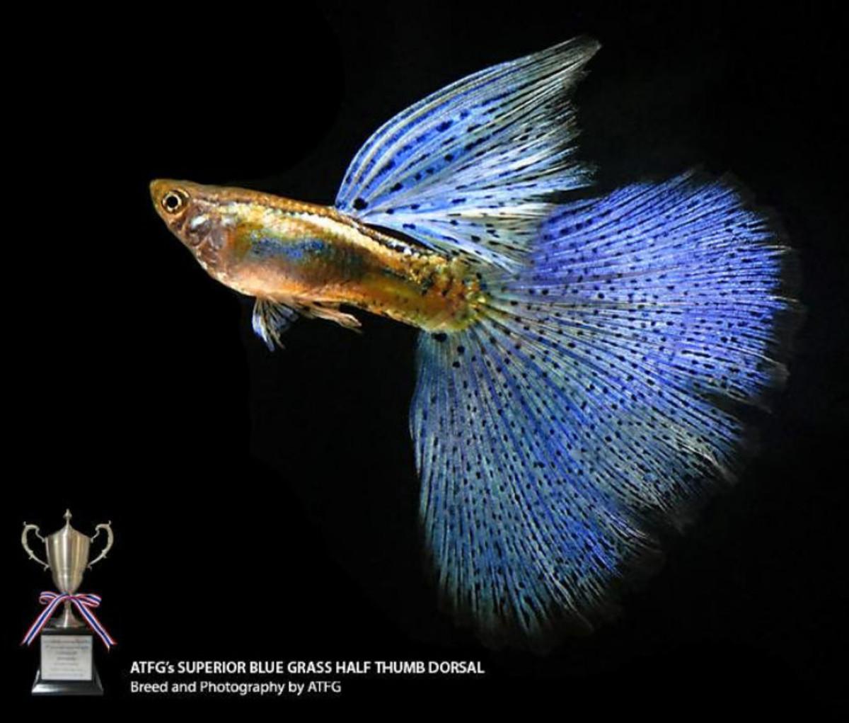 Beautiful Blue Show Guppy