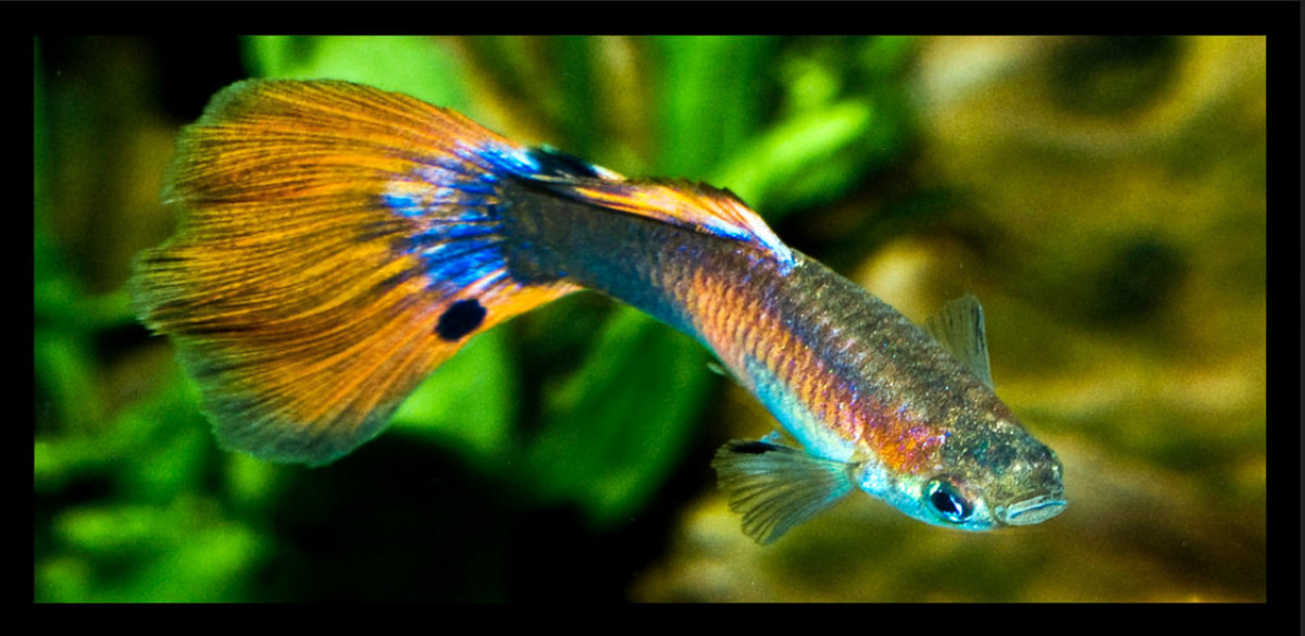 guppies-for-sale