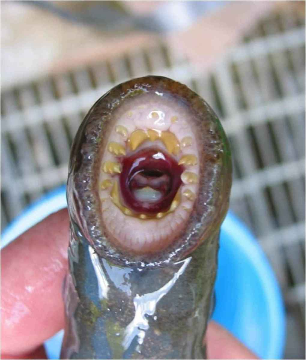 Pictured – A lamprey, it wouldn't win any beauty prizes.